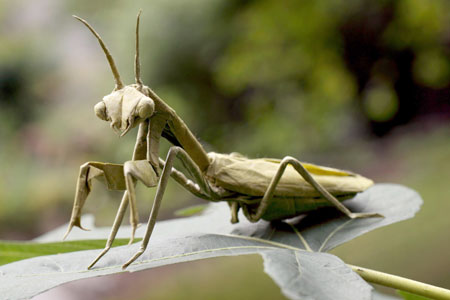 Origami Praying mantis