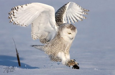 настоящая сова